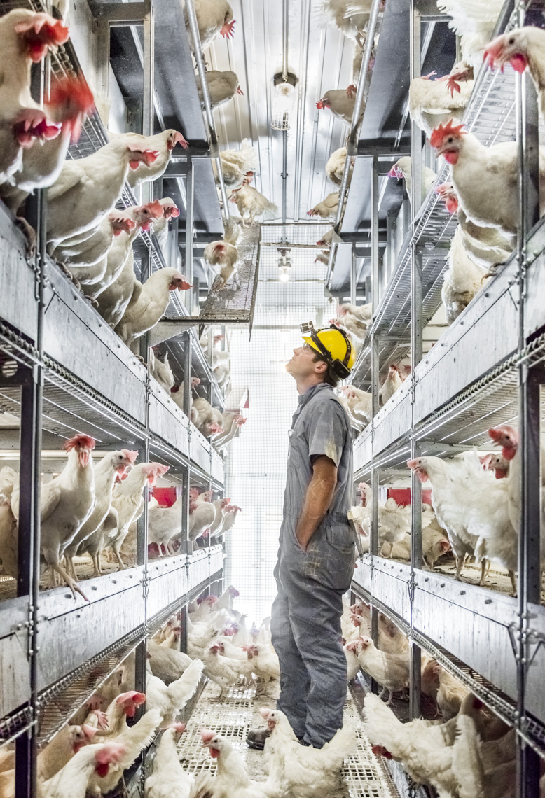 A worker checks on egg-laying chickens at a cage-free chicken ranch in Michigan.